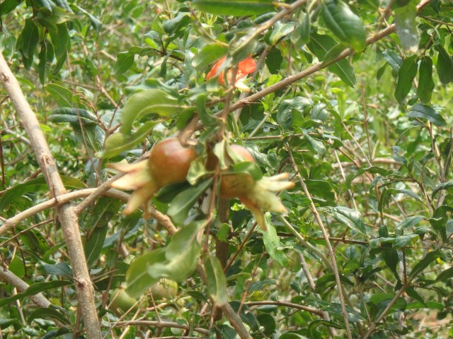 The nearly ripe pomegranate - another week I was told
