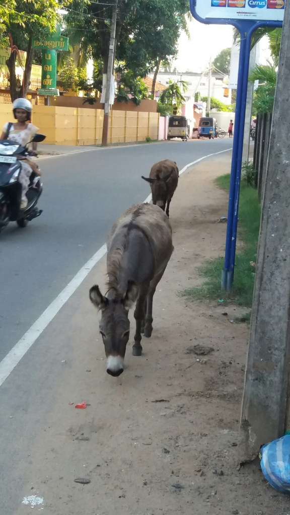 You are liable to meet cows goats and donkeys on any road in Jaffna city