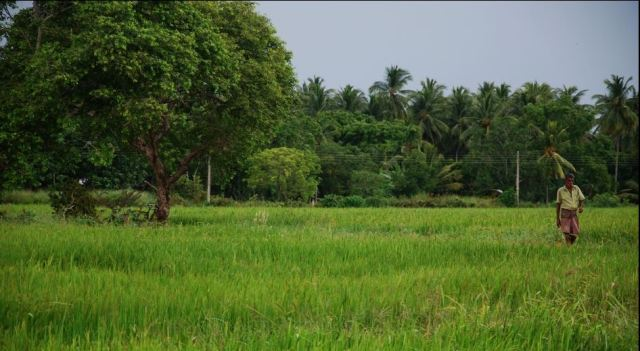Paddy fields are abundent